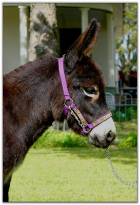 Itsy Bitsy black Sunset, black miniature donkey jennet for sale at Itsy Bitsy Burro Co