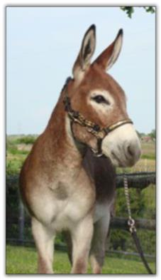 Itsy Bitsy Firethorne, red miniature donkey jack for sale