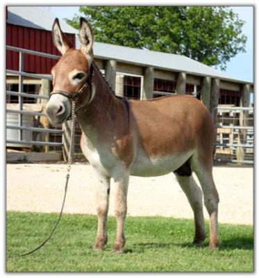 Itsy Bitsy Jet Fire, dark red miniature donkey jack for sale