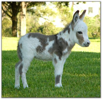 Painted Rose, spotted miniature donkey for sale